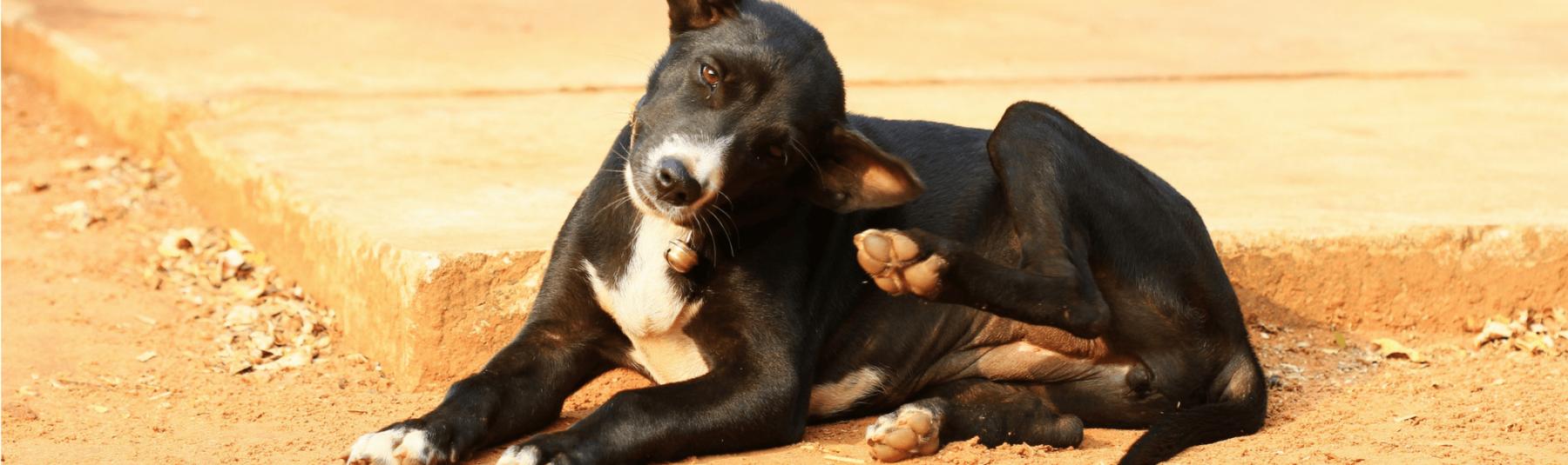 A dog scratching fleas